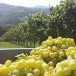 Prosecco Farm - Grapes